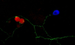 Induction of postsynaptic assembly by synaptic adhesion molecules